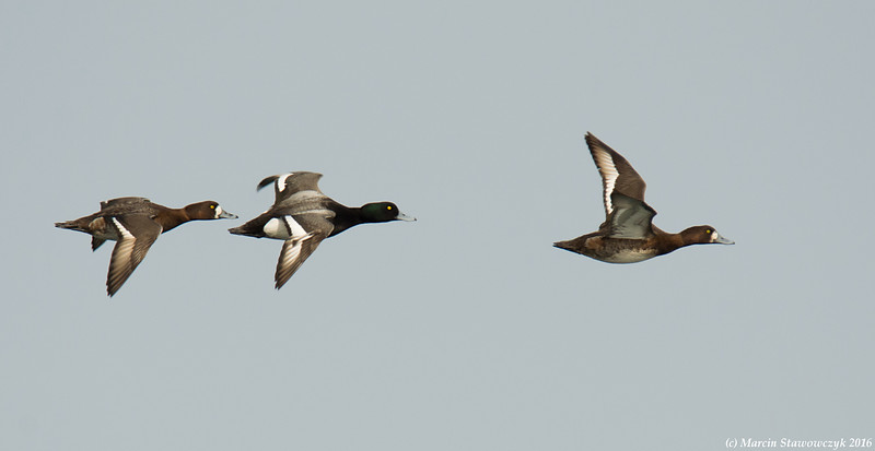 Scaups on the way