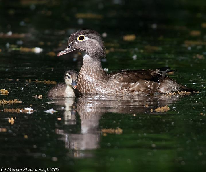 Wood duck mom