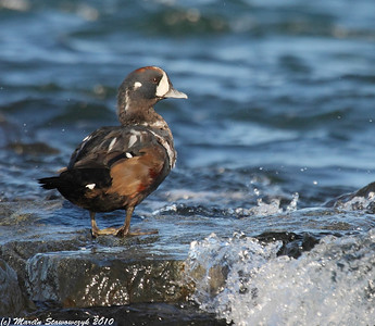 Other Ducks