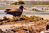 A Black Oystercatcher taken June 20, 2011 near Pistol River, OR.