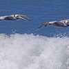 Brown Pelicans taken Apr 23, 2010 near Trinidad, CA.