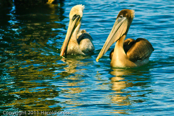 Brown Pelicans taken Sep. 28, 2011 in Monterey, CA.