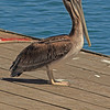 A Brown Pelican taken Jun 11, 2011 in Trinidad, CA.