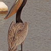 A Brown Pelican taken Jun 9, 2010 near Fruita, CO.