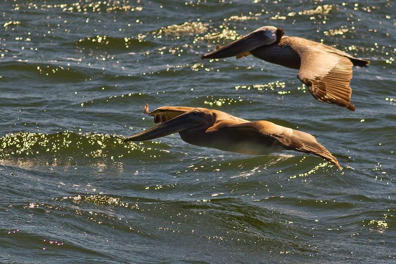 Brown Pelicans taken June 20, 2011 near Crescent City, CA.