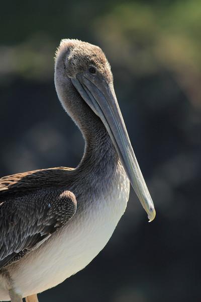 A Brown Pelican taken Jun 11, 2011 in Trinidad, CA.