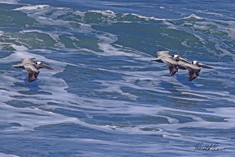 Brown Pelicans taken Apr 23, 2010 near Trinidad, CA.