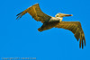 A Brown Pelican taken Oct. 1, 2011 near Los Angeles, CA.