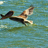 A Brown Pelican taken June 15, 2011 near Crescent City, CA.