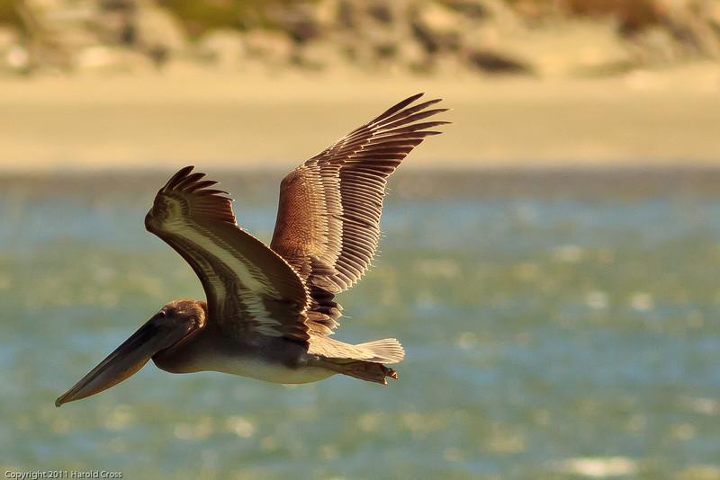 A Brown Pelican taken June 15, 2011 near Crescent City, CA.