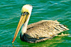 A Brown Pelican taken Sep. 28, 2011 in Monterey, CA.