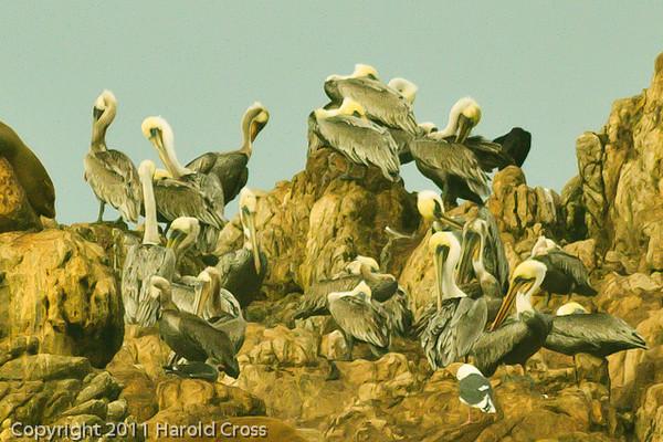 Brown Pelicans taken Sep. 29, 2011 near Monterey, CA.