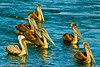 Brown Pelicans taken Sep. 28, 2011 in Monterey, CA.