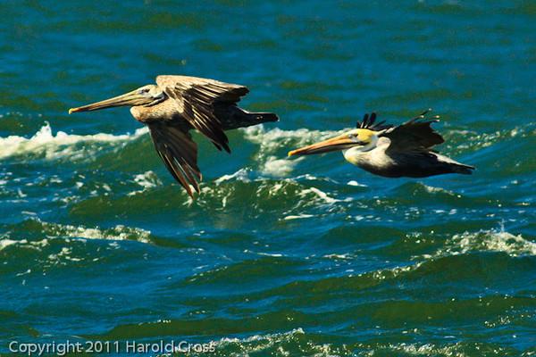 Brown Pelicans taken Sep. 26, 2011 near San Francisco, CA.