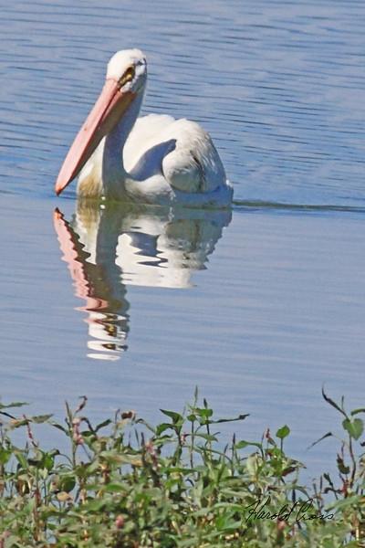 An American White Pelican taken Aug 9, 2010 near Denver, CO.