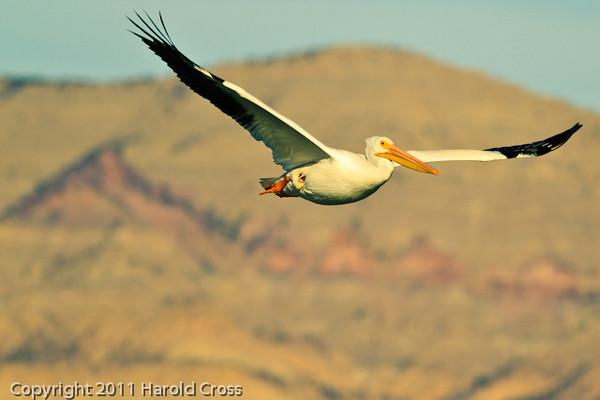 An American White Pelican taken Nov. 17, 2011 at Highline Lake State Park near Fruita, CO.