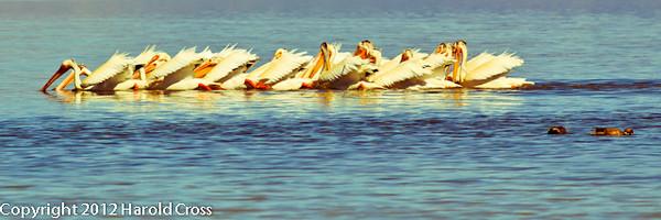American White Pelicans taken June 12, 2012 near Brigham City, UT.