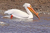 An American White Pelican taken May 22, 2010 in Yellowstone National Park, Wyoming.