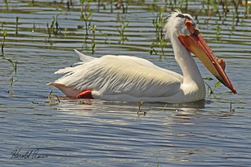 An American White Pelican taken May 9, 2011 at Barr Lake State Park near Denver, CO.