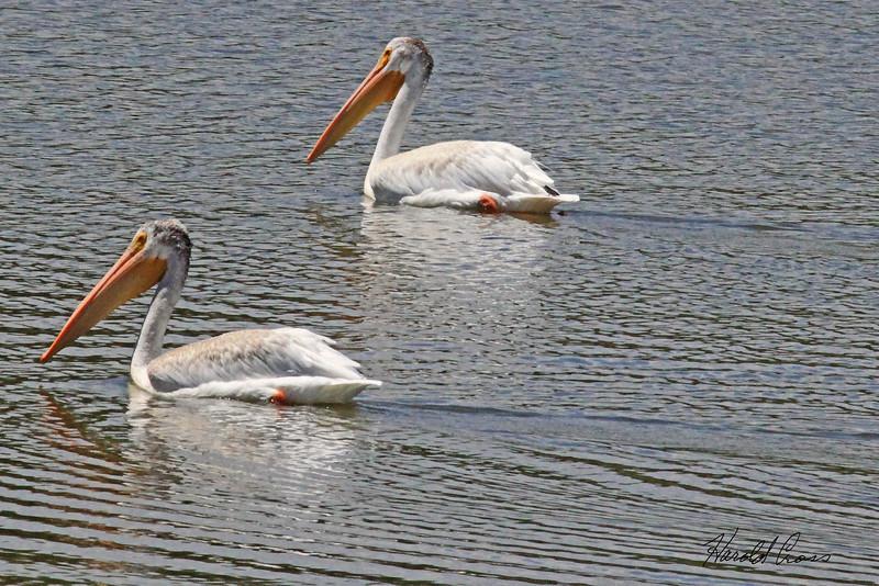 American White Pelicans taken Aug 9, 2010 near Denver, CO.