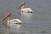 American White Pelicans taken Aug 9, 2010 near Denver, CO.