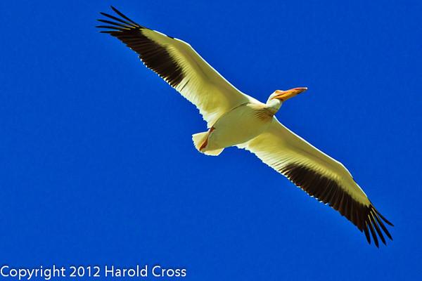 An American White Pelican taken June 12, 2012 near Brigham City, UT.