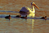 An American White Pelican with American Coots taken Nov. 18, 2011 near Fruita, CO.