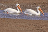 American White Pelicans taken May 22, 2010 in Yellowstone National Park, Wyoming.