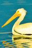 An American White Pelican taken Nov. 17, 2011 at Highline Lake State Park near Fruita, CO.