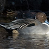 Sleepy pintail