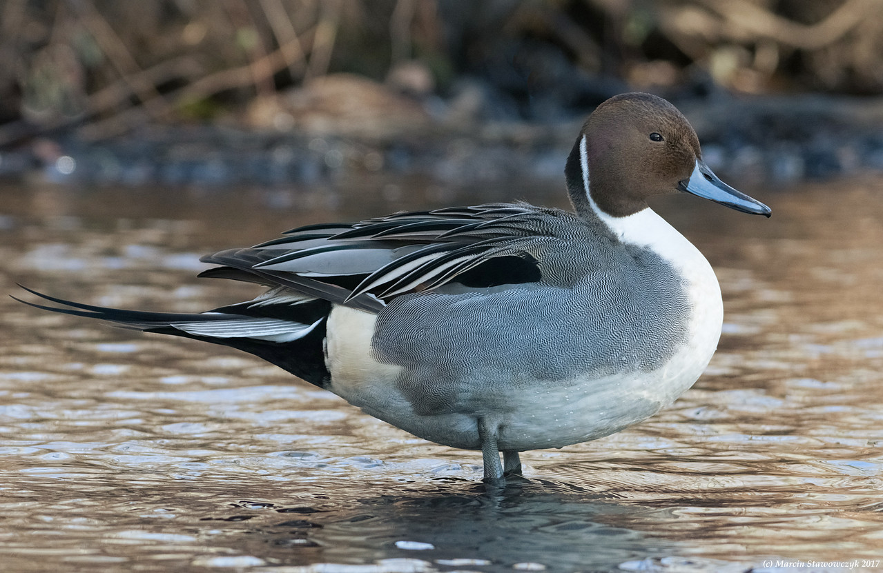 Pintail in the shadow