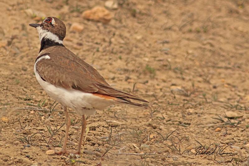 A Kildeer taken April 13, 2011 near Fruita, CO.