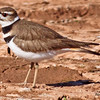 A Kildeer taken Feb 8, 2010 in Gilbert,  AZ.