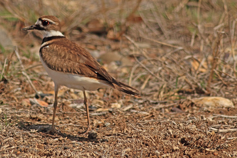 A Kildeer taken Apr. 4, 2011 in Fruita, CO.
