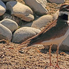 A Kildeer taken Apr. 5, 2011 in Grand Junction, CO.