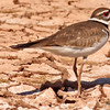 A Kildeer taken Feb 17, 2010 in Gilbert,  AZ.