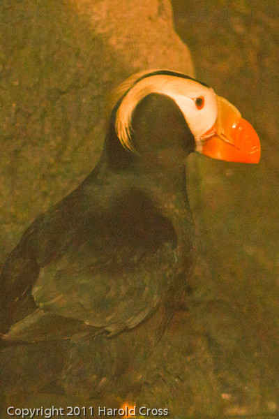 A Tufted Puffin taken Sep. 28, 2011 in Monterey, CA.