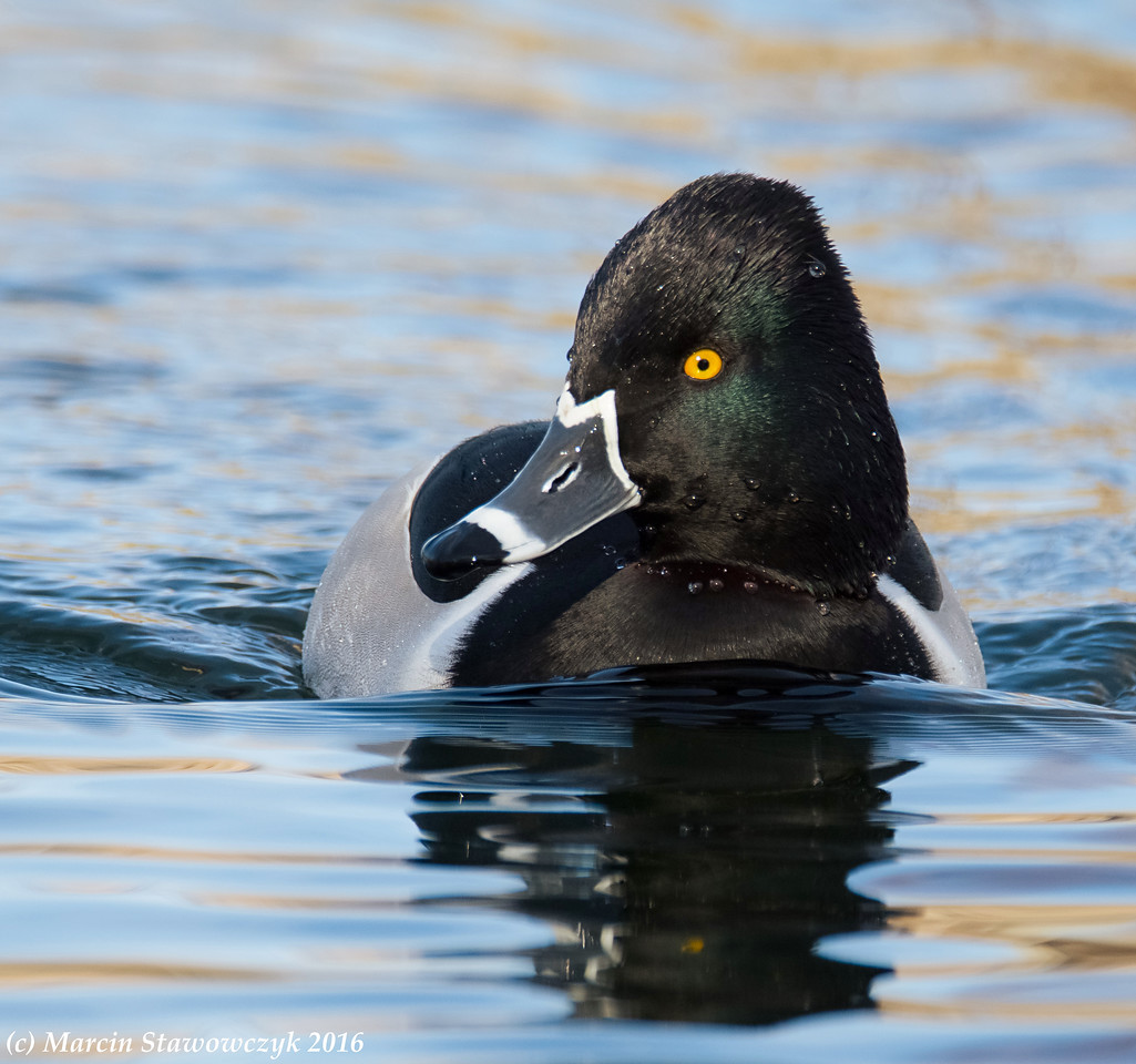 Ring-necked swimming