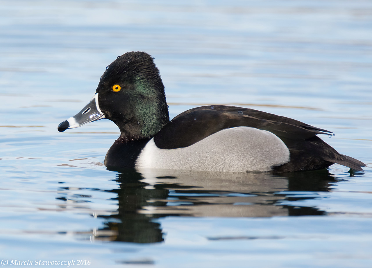 Ring-necked in blue water