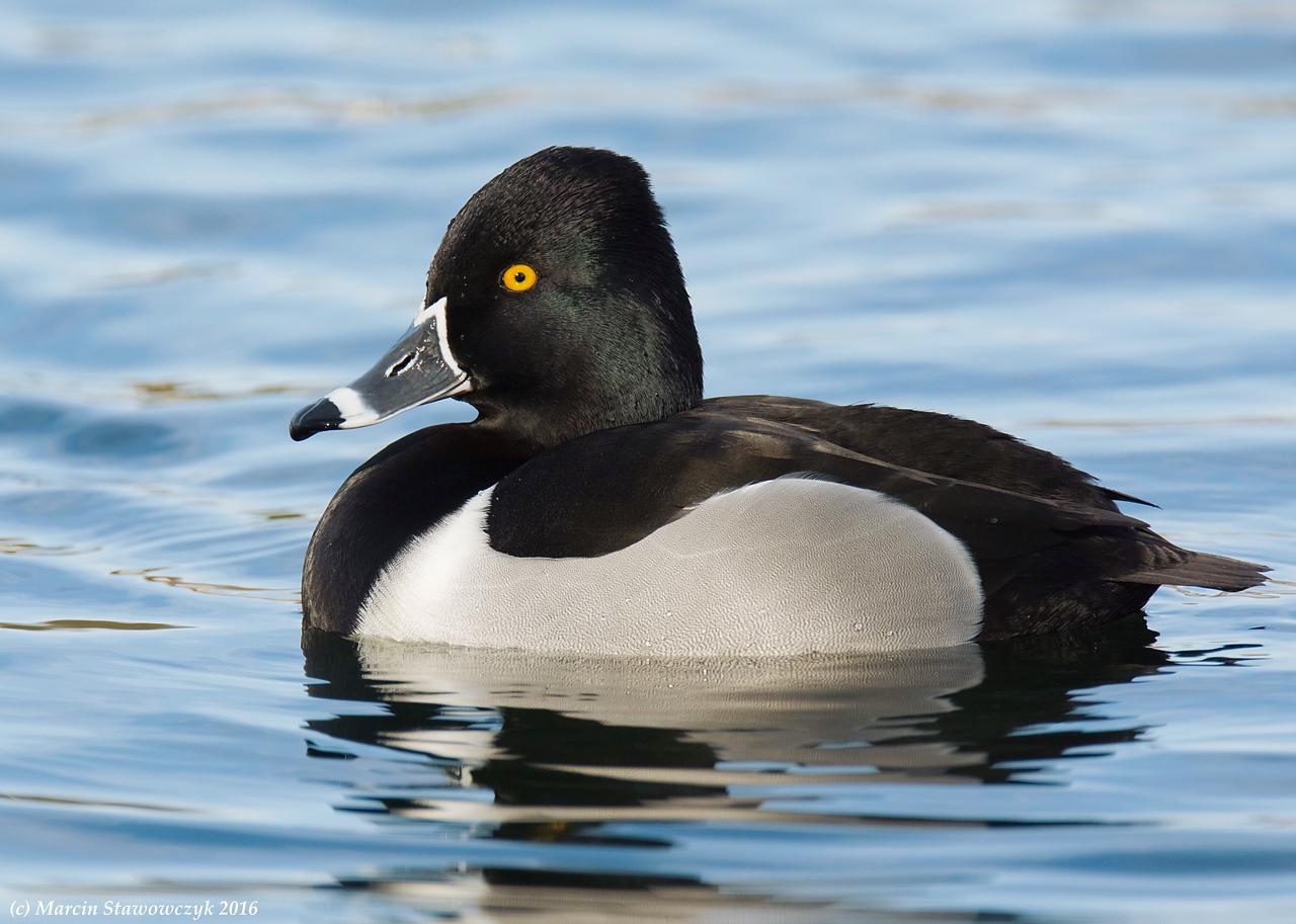 Posing ring-necked duck