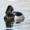 Posing ring-necked duck