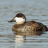 Ruddy duck on the way