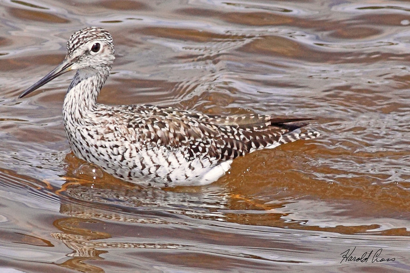A Greater Yellowlegs taken May 22, 2010 in Yellowstone National Park, Wyoming.