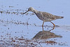 A Greater Yellowlegs taken April 17, 2010 near Fortuna, CA.