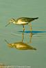 A Greater Yellowlegs taken Feb. 23, 2012 near Elfreida, AZ.