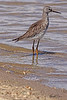 A Lesser Yellowlegs taken Aug 23, 2010 near Fruita, CO.