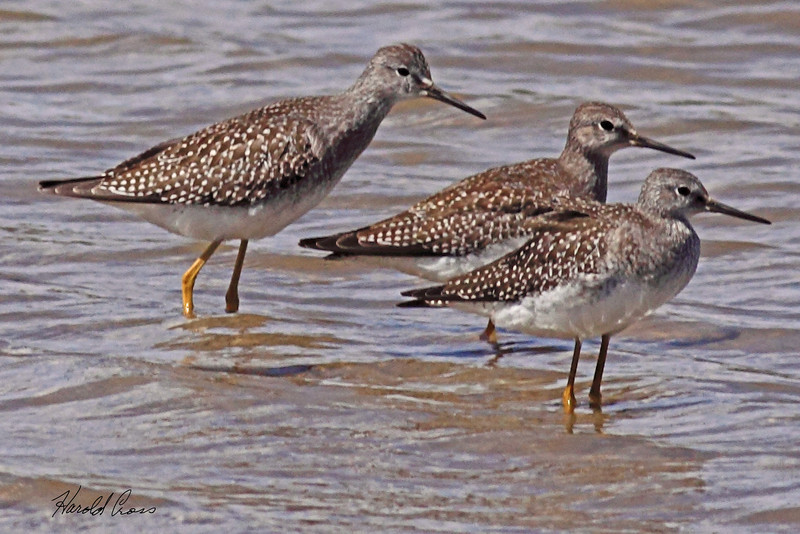 Lesser Yellowlegs taken Aug 23, 2010 near Fruita, CO.
