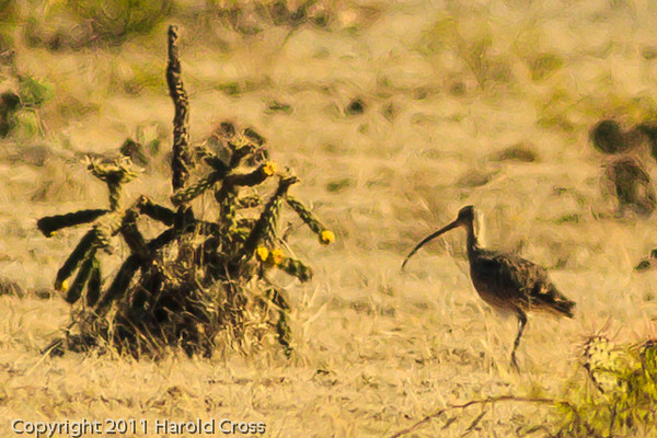 A Long-billed Curlew taken Oct. 31, 2011 near Arch, NM.