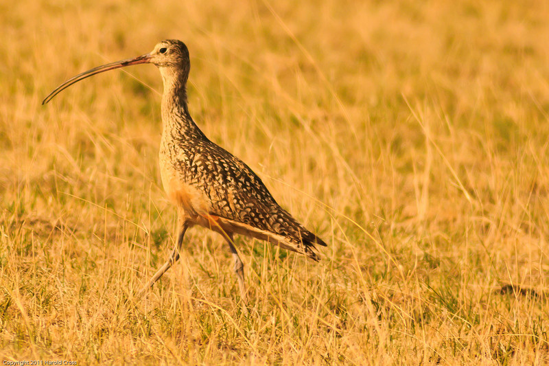 A Long-billed Curlew taken July 17, 2011 near Portales, NM.
