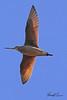 A Marbled Godwit taken Apr 24, 2010 near Fortuna, CA.